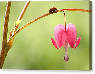 Ladybug And Bleeding Heart Flower Canvas Print by Peggy Collins
