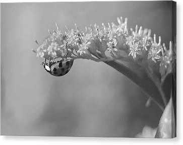 Ladybug And Goldenrod Canvas Print