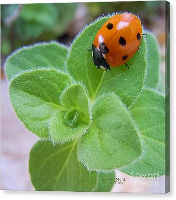 Canvas Print featuring the photograph Ladybug And Oregano by Robert ONeil