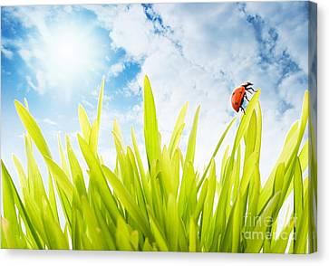 Ladybug Canvas Print by Boon Mee