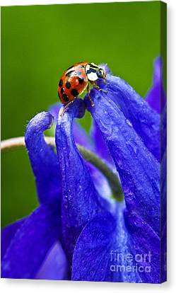 Canvas Print featuring the photograph Ladybug by Carrie Cranwill