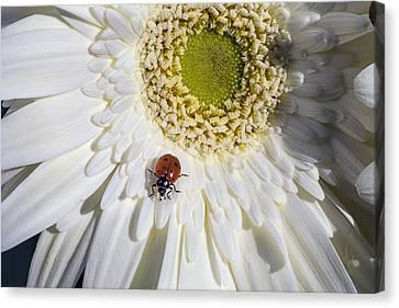 Ladybug Canvas Print by Garry Gay