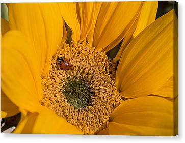 Ladybug In Sunflower Canvas Print by Garry Gay