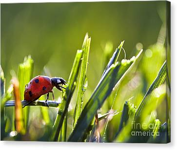 Ladybug In The Dew Covered Sunlit Grass Canvas Print