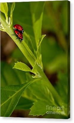 Ladybug Ladybug Canvas Print