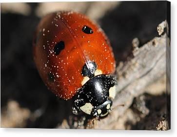 Ladybug Canvas Print by Lorri Crossno