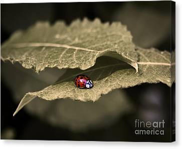 Ladybug Canvas Print by Nora Blansett