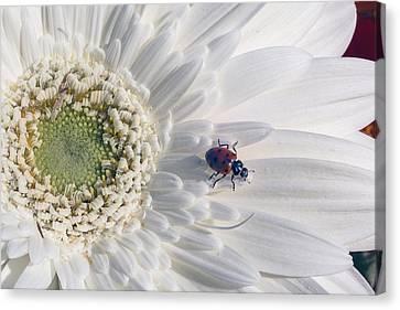 Ladybug On Daisy Petal Canvas Print by Garry Gay