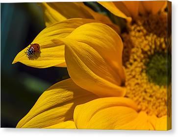 Ladybug On Sunflower Petal Canvas Print by Garry Gay