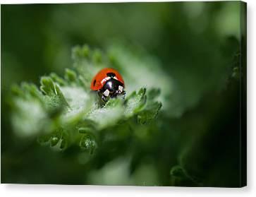 Ladybug On The Move Canvas Print by Jordan Blackstone