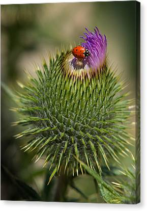 Canvas Print featuring the photograph Ladybug On Thistle by Janis Knight