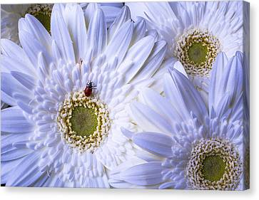 Ladybug On White Daisy Canvas Print by Garry Gay