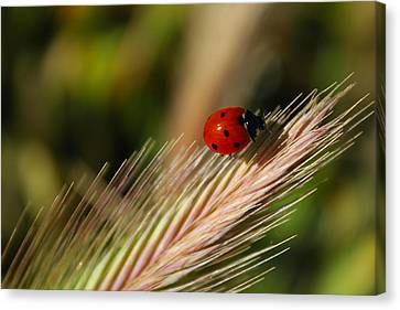 Canvas Print featuring the photograph Ladybug by Richard Stephen