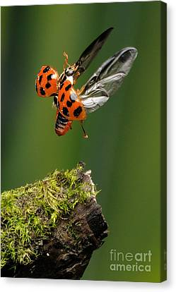 Ladybug Taking Off Canvas Print by Scott Linstead