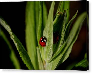 Canvas Print featuring the photograph Ladybugs by Adria Trail