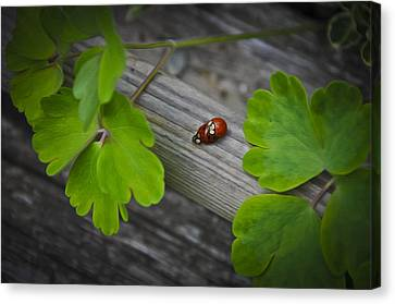 Ladybugs Mating Canvas Print by Aged Pixel