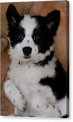 Laid Back Border Collie Canvas Print by John Colley