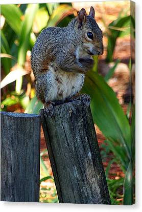 Canvas Print featuring the photograph Lake Howard Squirrel 019 by Chris Mercer