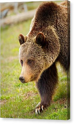 Canvas Print featuring the photograph Lake Grizzly by Aaron Whittemore