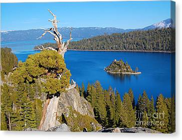 Lake Tahoe Reaching Tree Canvas Print by Debra Thompson