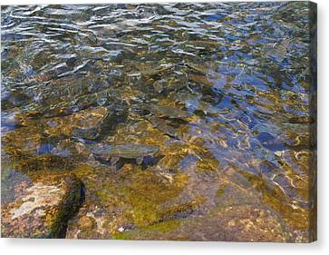 Lake Trout Art Prints Rainbow Trout Photography Canvas Print by Baslee Troutman