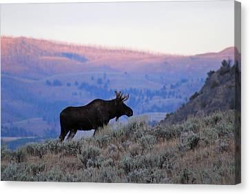 Lamar Valley Moose Canvas Print by Jeff Lucas