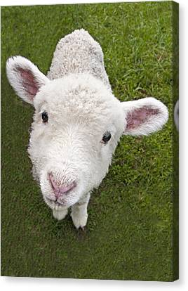Canvas Print featuring the photograph Lamb by Dennis Cox WorldViews