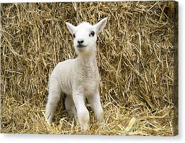 Lamb In Straw Canvas Print by John Daniels