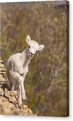 Lamb On The Rocks Canvas Print