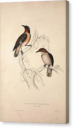 Lamprotornis Spilopterus, Winged Starling. Birds Canvas Print by Quint Lox
