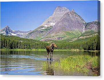 Land Of The Moose Canvas Print by Jack Bell