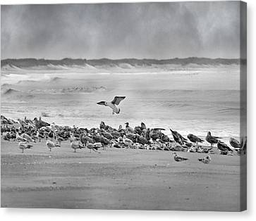 Flying Seagull Canvas Print - Landing In A Blur by Betsy Knapp