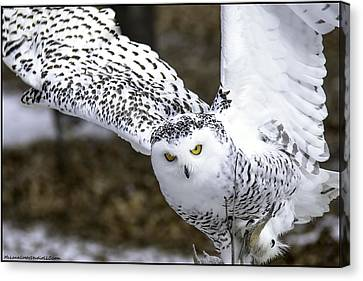 Landing Of The Snowy Owl Where Are You Harry Potter Canvas Print by LeeAnn McLaneGoetz McLaneGoetzStudioLLCcom