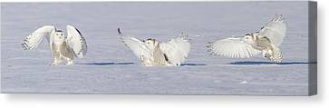 Landing Snowy Owl Canvas Print by Mircea Costina Photography