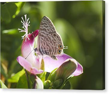 Canvas Print featuring the photograph Lang's Short-tailed Blue II by Meir Ezrachi