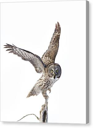 Lapland Owl On White Canvas Print by Mircea Costina Photography