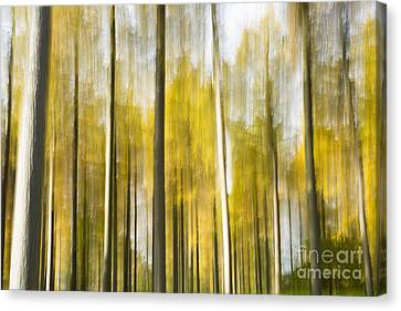 Larch Grove Blurred Canvas Print by Anne Gilbert