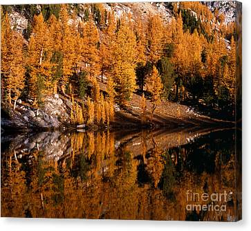 Larch Trees Reflected On Cooney Lake Canvas Print by Tracy Knauer