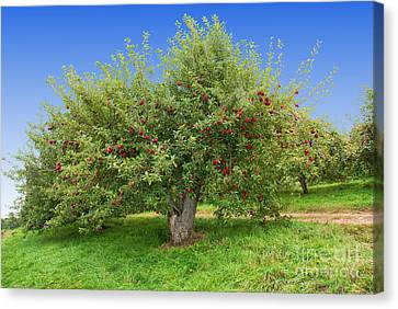 Large Apple Tree Canvas Print by Anthony Sacco