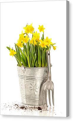 Large Bucket Of Daffodils Canvas Print by Amanda Elwell