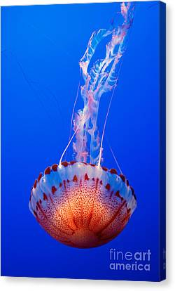 Large Colorful Jellyfish Atlantic Sea Nettle Chrysaora Quinquecirrha  Canvas Print by Jamie Pham