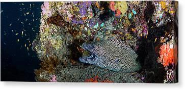Large Honeycomb Moray Eel Emerges Canvas Print