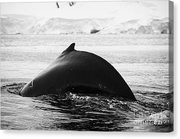 large male Humpback whale with arched back diving in Wilhelmina Bay Antarctica Canvas Print by Joe Fox