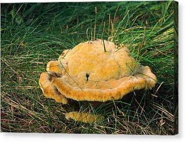 Large Pine Polypore Canvas Print by Nigel Downer