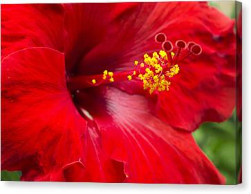 Large Red Hibiscus Canvas Print