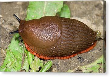Slug Canvas Print - Large Red Slug by Nigel Downer