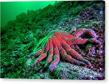 Large Red Sunflower Starfish Canvas Print by James White