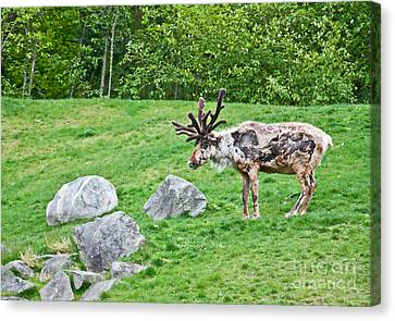 Large Reindeer Molting In Summer Pasture Art Prints Canvas Print by Valerie Garner