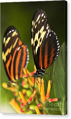 Large Tiger Butterflies Canvas Print by Elena Elisseeva