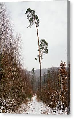 Large Trees In The Nature Park In Winter Canvas Print by Matthias Hauser